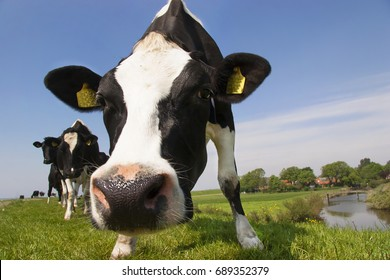Holstein Friesians or piebald cows standing and grazing on dike