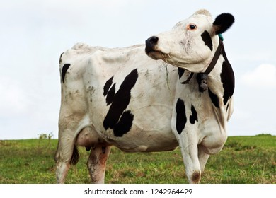 A Holstein friesland dairy cow on pasture