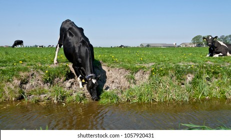 Holstein Frisian cow drinking water from the ditch in a meadow, Dutch landscape.