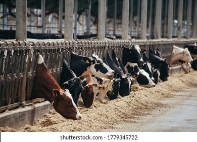 Holstein Frisian diary cows in free livestock stall