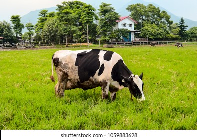 The Holstein grazes in the farm in Hualien,Taiwan.