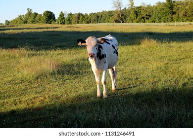 Holstein heifer in the meadow in the early morning