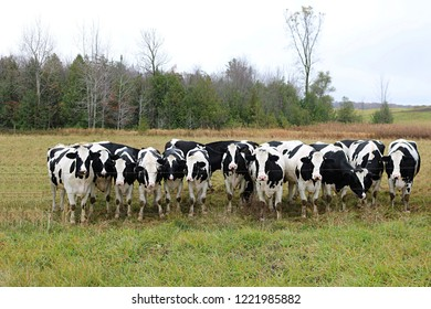 Holstein heifers lined up at the fence looking at me