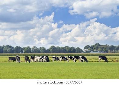Holstein-Friesische Rinder auf grüner Wiese, Maisfeld und Farm auf Hintergrund, blauer Himmel und dramatische Wolke, Niederlande.