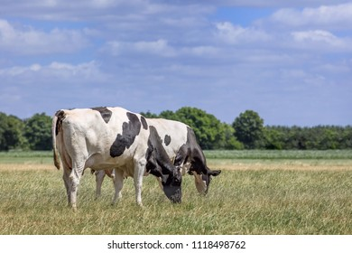 Holstein-Friesian cattle in a green meadow with forest on the background, The Netherlands.