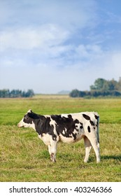 Holstein-Frisian cattle in a green meadow with cornfield on the background, The Netherlands.