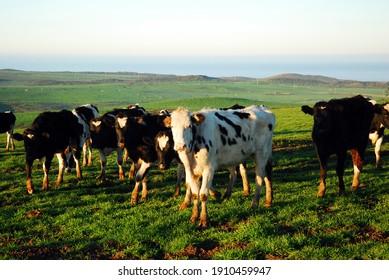 Las vacas holsten pastan en una amplia pradera abierta por la mañana