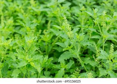Holy Basil field.Thailand herbs.