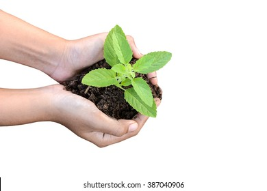 Holy basil In human hands.White background.
