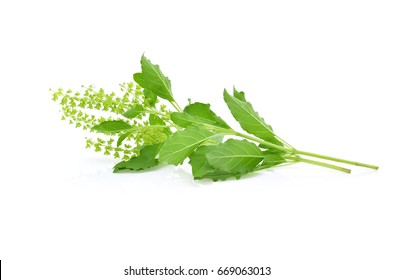 holy basil isolated on white background