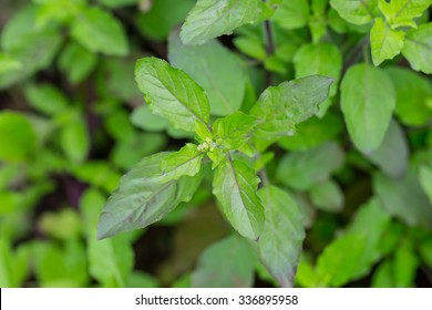 Holy basil leaf.