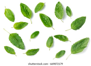 Holy basil leaf isolated on white background,It is cultivated for religious and medicinal purposes, and for essential oil and a herbal tea