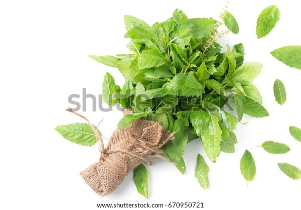 Holy basil leaf isolated on white background, It is cultivated for religious and medicinal purposes for its essential oil and a herbal tea