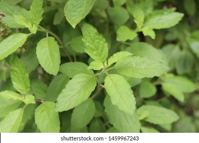 Holy basil leaves on the Holy basil tree. Holy basil leaves are useful herbs.
