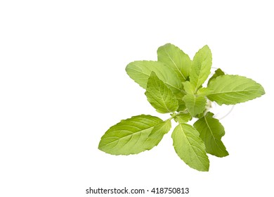 Holy Basil, Ocimum sanctum on white background