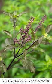 Holy basil (Ocimum tenuiflorum).green leafy plant.Holy basil is part of Food ingredients are popular in Thailand.