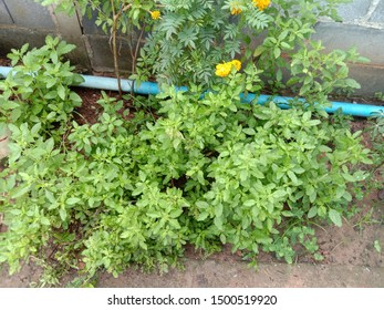 Holy basil planted on the ground