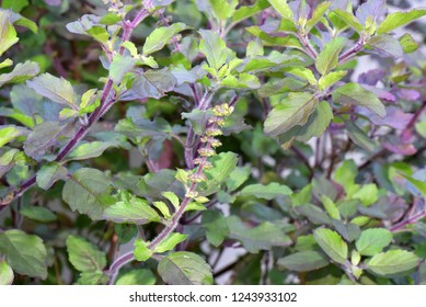 Holy basil or thulsi (Ocimum tenuiflorum or Ocimum sanctum), an aromatic medicinal plant grown at home by all Hindus in India.