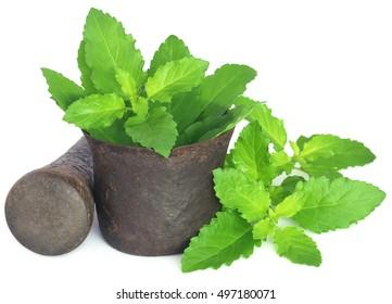 Imágenes, fotos de stock y vectores sobre Tulasi Leaf | Shutterstock