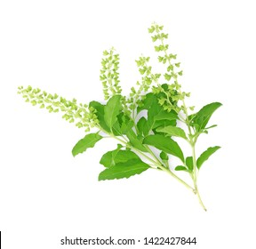 Holy Basil,Ocimum sanctum isolate on white background