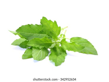 Holy Basil,Ocimum sanctum isolate on white