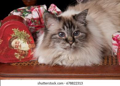 Holy Birman Cat at Christmas