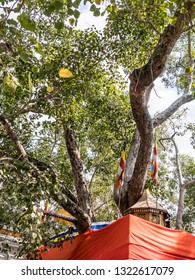 The holy Bodhi tree at Mahabodhi temple