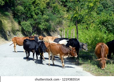 Holy cows of India are all over the road. You see more cows then cars in the villages and mountains.
