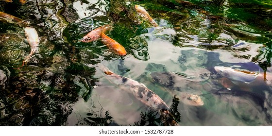 Holy Fish in the holy pool