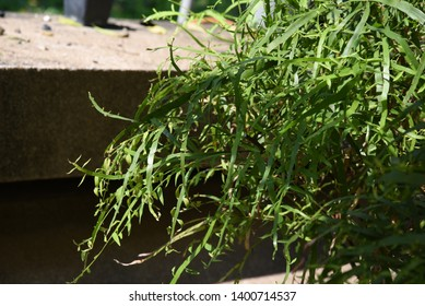 Homalocladium platycladum Small shrub Many branches The sapling is flat in green. When the old will turn brown and round up When cooked red