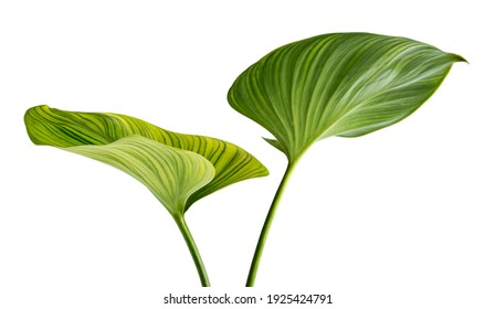Homalomena Wallisii leaf(King of Hearts)tropical green isolate on white background.