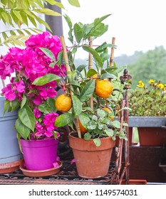 Home balcony: bougainvillea potted plant with flower-like purple spring leaves  and mandarin orange, small citrus tree with fruits