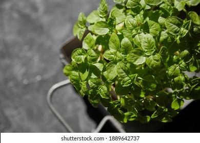 home basil in a pot