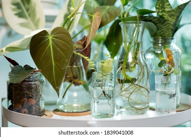 Home decor plant in water propagation. Water propagation for indoor plants.