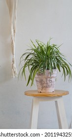 Home decor - spider plant to beautify the house in unique painting pot on white background