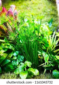 Home Decoration Concept. The Sedge Was Planted Together With Other Trees To  Decorate The Garden