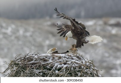 Home Delivery - It's a cold snowy morning, but the bald eagles continue to deliver the goods. A bald eagle deliveries nesting material to the nest with its mate looking on.