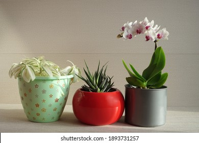 Home flowers in red and gray pots on a light pink background. White orchid and succulent haworthia in bright pots. Green home plants.