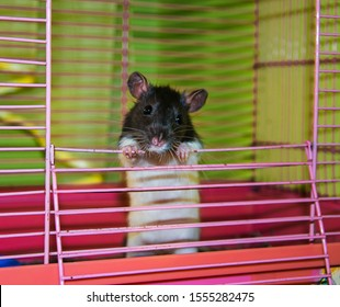 home funny rat in a metal cage
