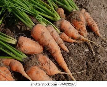 Home garden grown organic carrots