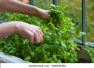 Home garden on balcony, woman hands picking herbs