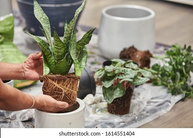 Home gardening transporting indoor plants to new pots. REPOTTING SNAKE PLANTS