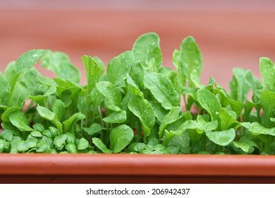 Home gardening - young rucola ( arugula ) in the flowerpot.