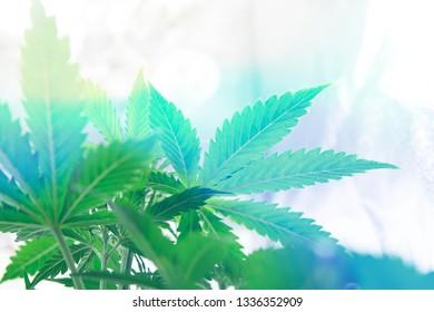 Home Grow legal Recreational weed. Planting cannabis. Cannabis business. Northern light strain. Marijuana flower Indoor growing. Marijuana grow operation.