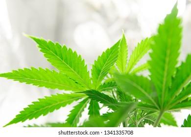 Home Grow legal Recreational weed. Marijuana flower Indoor growing. Northern light strain. Marijuana grow operation. Cannabis business. Planting cannabis.