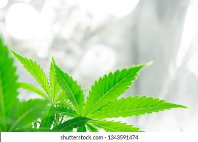 Home Grow legal Recreational weed. Planting cannabis. Marijuana grow operation. Marijuana flower Indoor growing. Cannabis business.