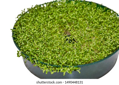 Home grown alfalfa sprouts in a round container isolated on white