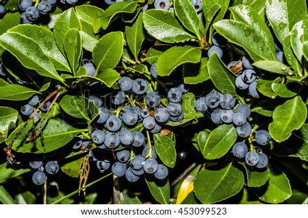 Home Grown Blueberry Plant Within Your Stock Photo (Edit Now
