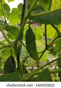 home grown cucumber. Growing cucumbers at home. Cucumber plant.