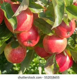 Home Grown Organic Apple 'Red Falstaff' (Malus) in an Orchard in a Country Cottage Garden in Rural Devon, England, UK